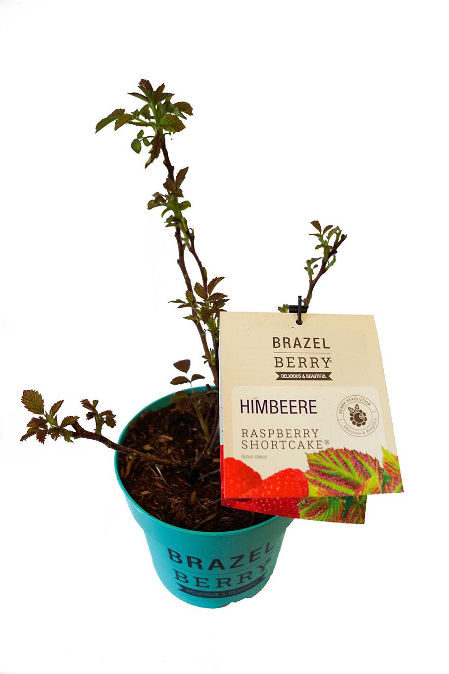 Brazel Berry Himbeere Raspberry Shortcake