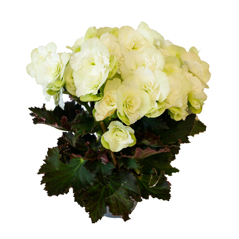Zimmerbegonie - Begonia elatior