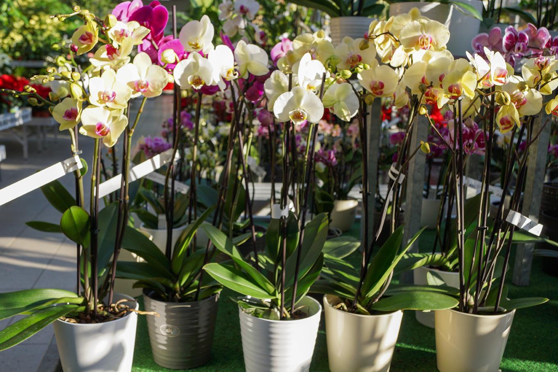 Phalaenopsis - Schmetterlingsorchidee