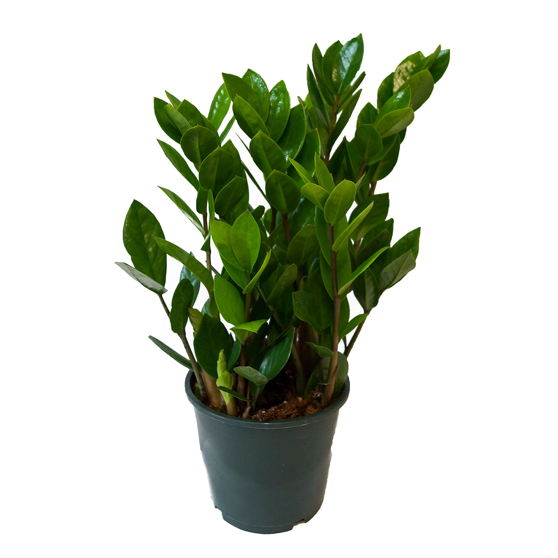 Tropenwurz - Zamioculcas zamiifolia
