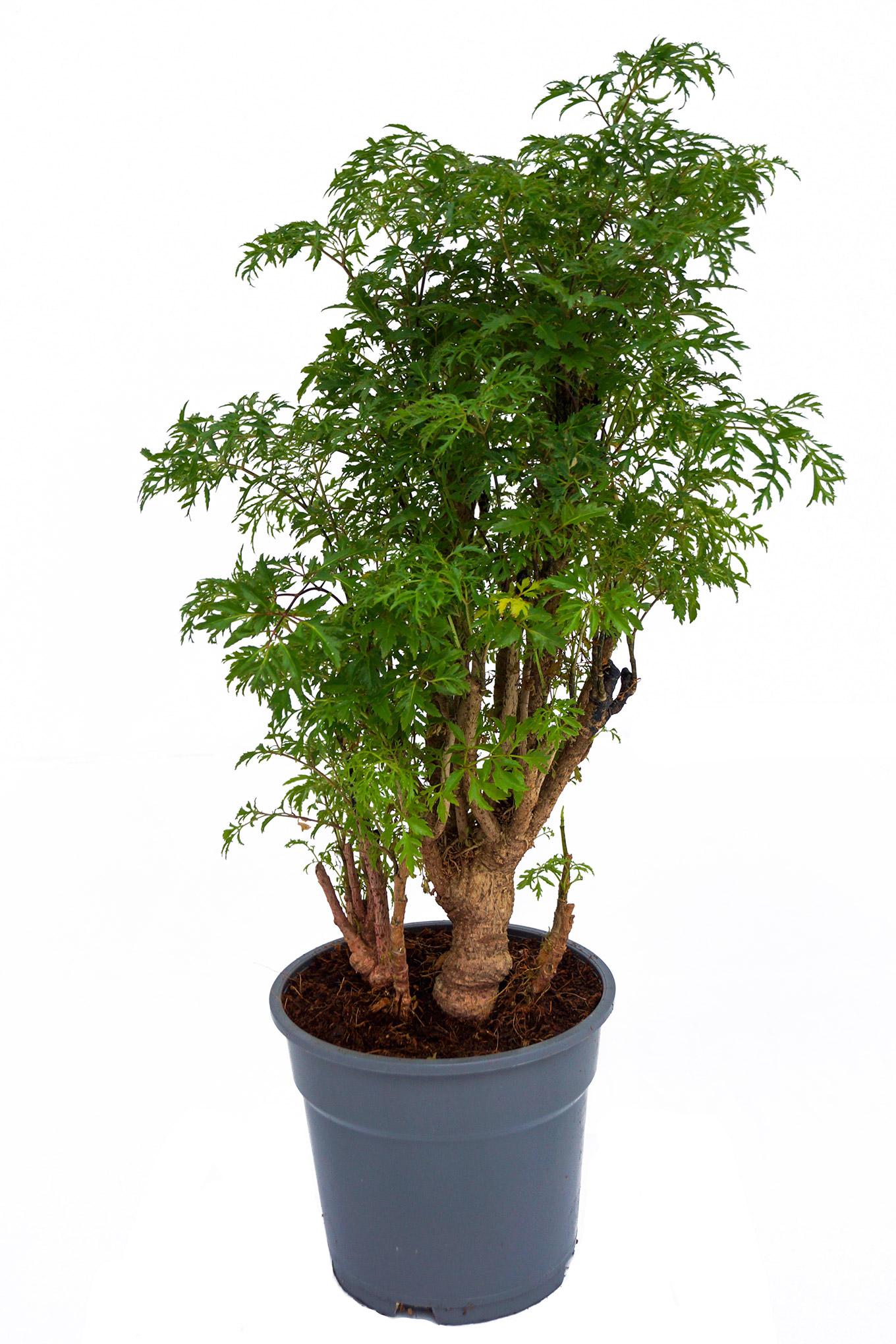 Ming Aralia - Polyscias fruticosa