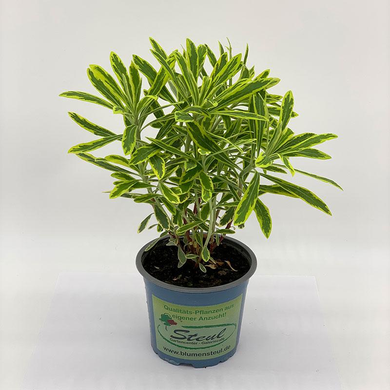 Euphorbia Hybrid Athene