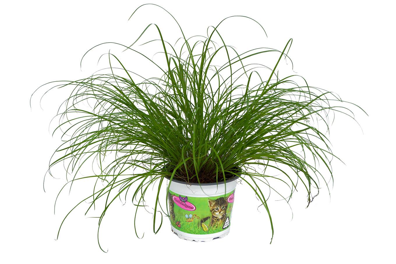 Katzengras - Cyperus alternifolius Zumula