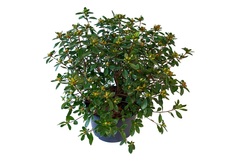 Immergrüne Azalee - Azalea japonica