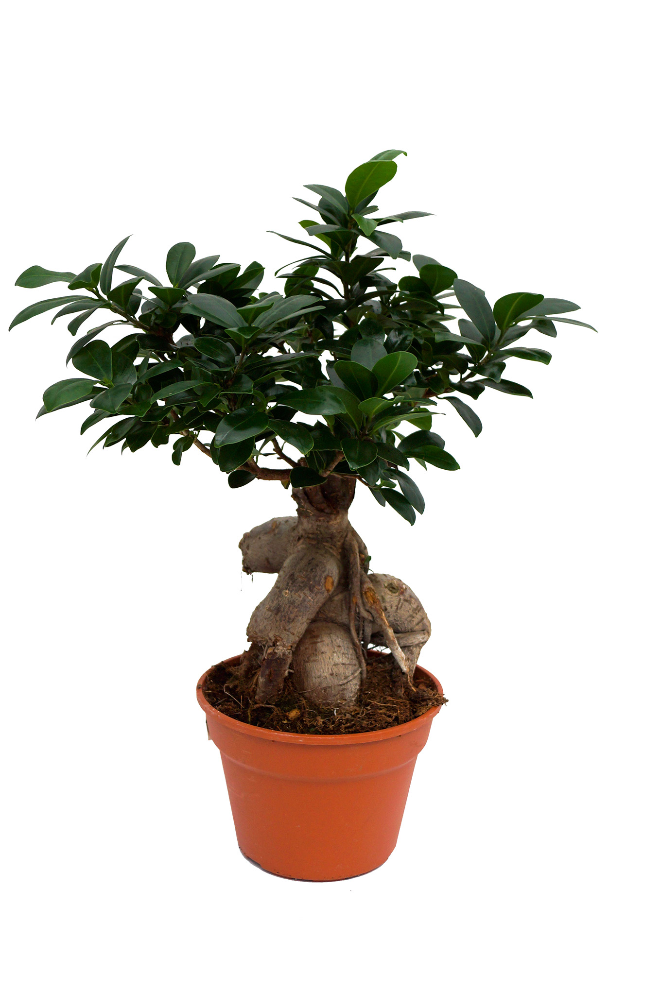 Chinesische Feige - Ficus microcarpa Ginseng