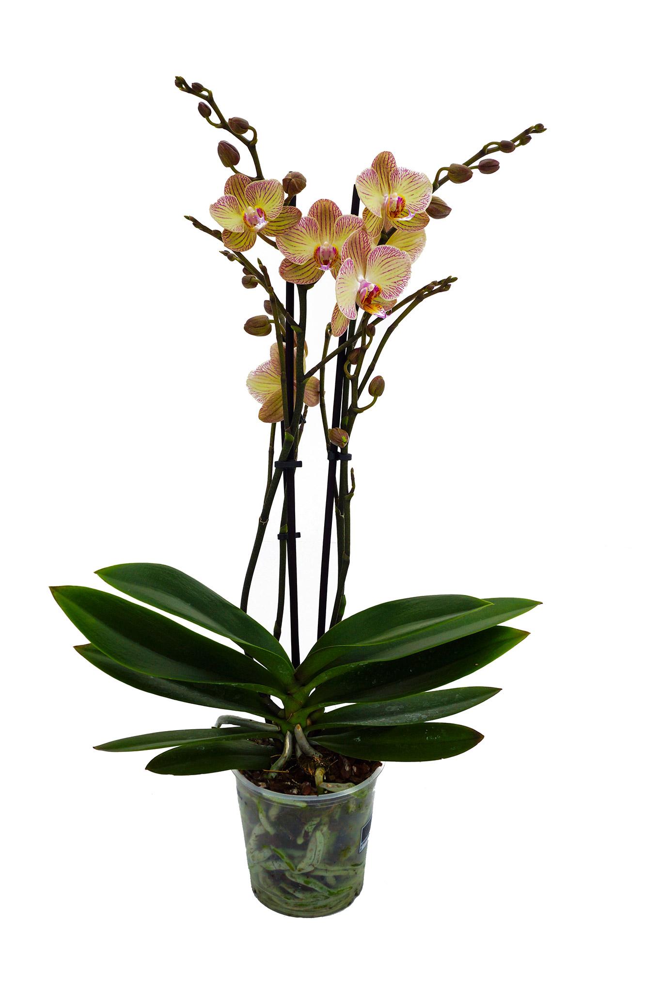 Schmetterlingsorchidee - Phalaenopsis
