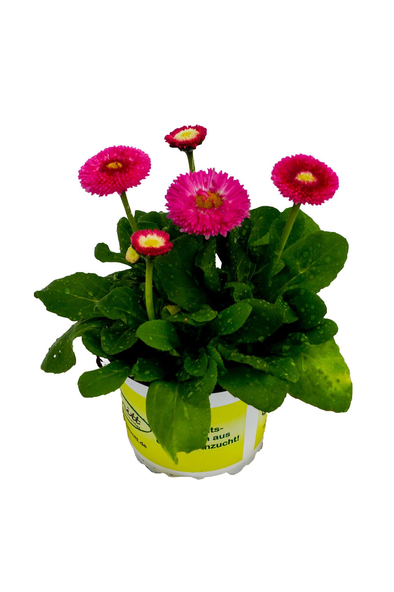 Bellis - Gänseblümchen